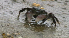 Crab Walking Over Rock Stock Footage