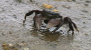 Stock Video Footage of Crab Walking Over Rock