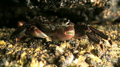 Crab Feeding In Rock Crevice Stock Footage