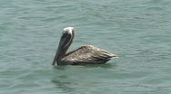 Stock Video Footage of pelican flies away close up