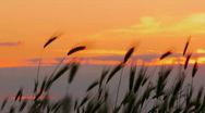 Wheat at sunset Stock Footage