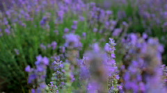 Flowers lavender Stock Footage