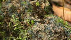 Leaf cutter ants (Atta sp.) Stock Footage