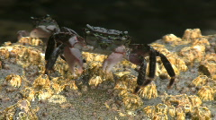 Crab Walking And Climbing Up Rock Stock Footage