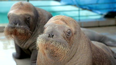 Two baby walrus Stock Footage