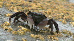 Crab Feeding And Scurrying Away Stock Footage