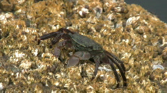Crab Feeding On Barnacles Stock Footage