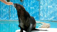 Sea Lion - stock footage