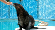 Stock Video Footage of Sea Lion