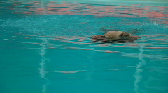 Walrus - stock footage