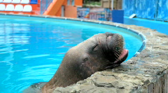 Walrus eats fish Stock Footage
