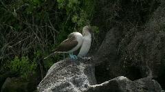 Galapagos Bluefooted Boobies pair Stock Footage