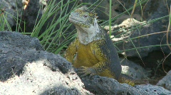 Galapagos Land Iguana male fly Stock Footage