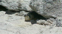 Galapagos Land Iguana seeks shade Stock Footage