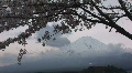 Mount Fuji and cherry blossom. Mt Fuji is the highest mountain in Japan. Winter  HD Footage