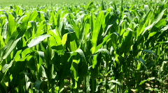 Corn stalks blowing in the wind Stock Footage