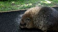 Stock Video Footage of Ground Hog walking around on pavement