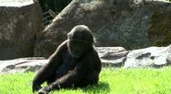 Stock Video Footage of Gorilla teenager