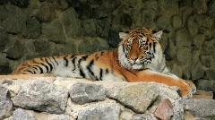 Amur tiger Stock Footage