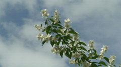 Blooming jasmine plant 3 Stock Footage