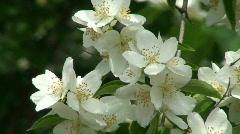 Blooming jasmine plant 5 Stock Footage