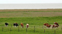 Cows on a polder Stock Footage