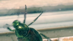T197 japanese bettle japan insect Stock Footage