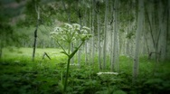 (1222) Colorado Mountains Aspen Trees Grove Forest Summer Wildflowers Meadow Stock Footage