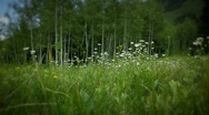 (1226) Colorado Mountains Summer Wildflowers Meadow Aspen LOOP Stock Footage