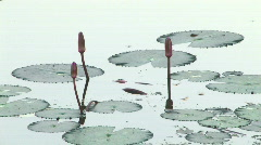 Water Lily lotus flower float peaceful pond garden Zen tranquil water  Stock Footage