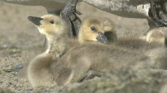 P01086 Canada Goose Goslings Stock Footage