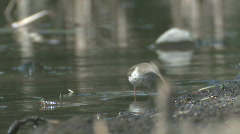 P01091 Spotted Sandpiper Feeding Along Shore Stock Footage