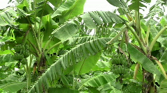 Banana trees Stock Footage