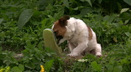 Dog plays with shoe in a backyard Stock Footage