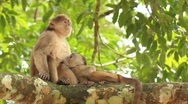 Stock Video Footage of White-fronted Capuchin Monkey (Cebus albifrons)