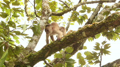 White-fronted Capuchin Monkey (Cebus albifrons) Stock Footage