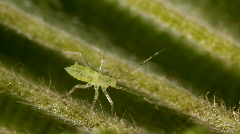 Green aphid on the underside of a leaf Stock Footage