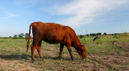 Cow in the field (Full HD) Stock Footage