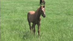 Foal in field Stock Footage