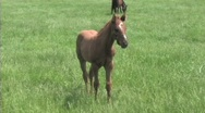 Stock Video Footage of Foal in field