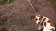 Stock Video Footage of Dog plays with tail in a backyard