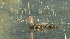 P01097 Hen Mallard and Chicks on Water Stock Footage