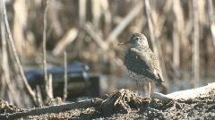 P01099 Shorebird at Wetland Stock Footage