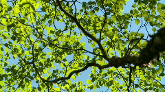 Aspen Tree 01a Stock Footage