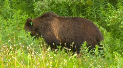 Grizzley bear nibbling bushes, danger close Stock Footage