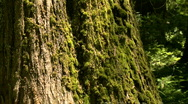 Pan up moss-covered cedar tree Stock Footage