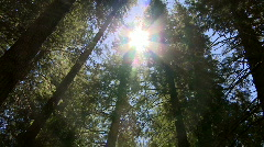Cedar trees - tilt down - stock footage