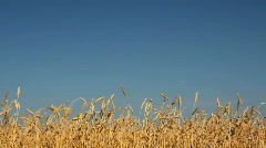 Yellow field with ripe wheat under blue sky Stock Footage