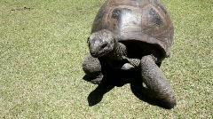 Aldabra giant turtoise walking Stock Footage