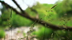 Wheat-like weeds blowing HD - stock footage